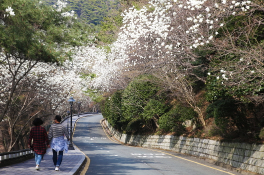 태종대 유원지 목련꽃길 전경2