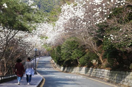 태종대유원지 목련 꽃길 전경