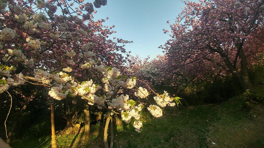 중앙공원 겹벚꽃 사진1
