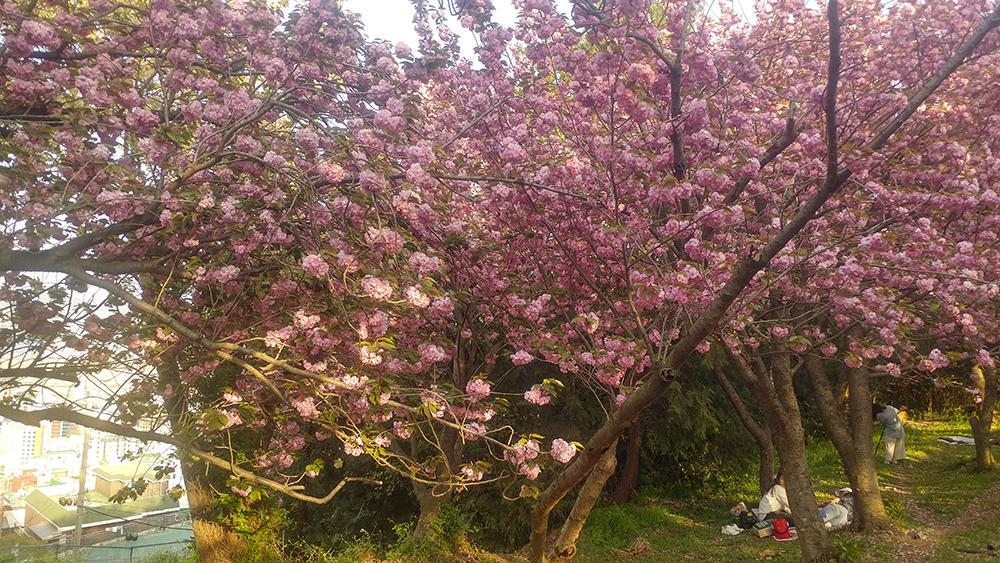 중앙공원 겹벚꽃 사진2