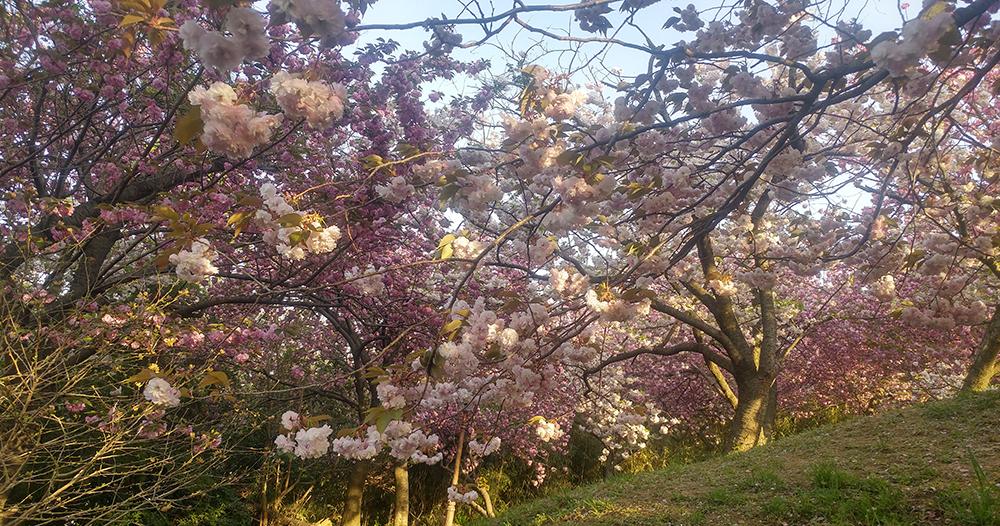 중앙공원 겹벚꽃 사진3