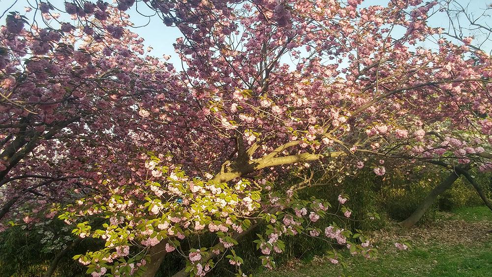 중앙공원 겹벚꽃 사진5