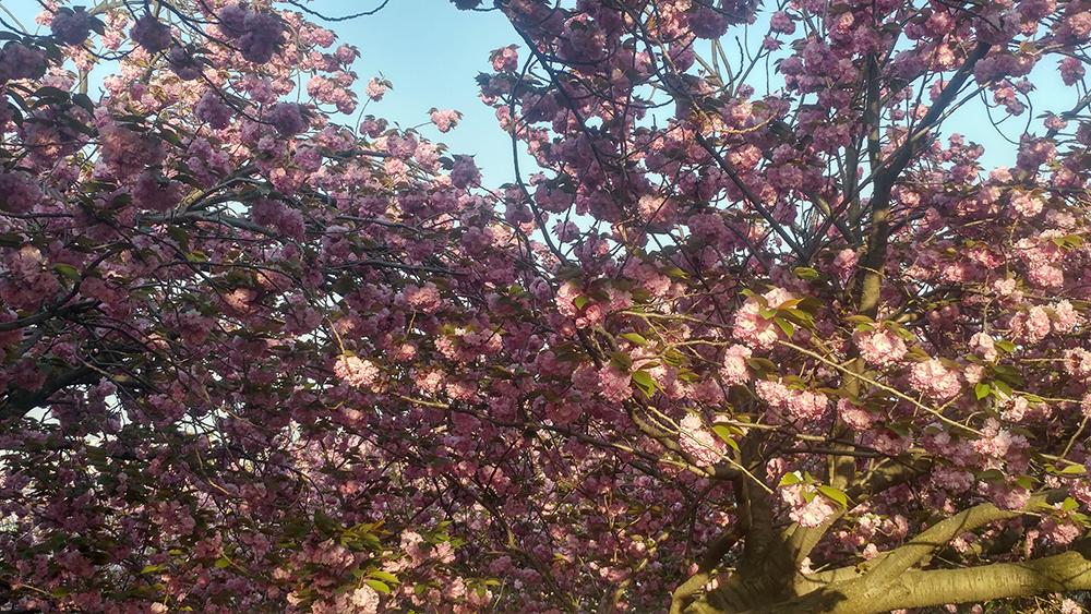 중앙공원 겹벚꽃 사진6
